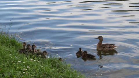 Duck with ducklings 2 Stock Video Footage