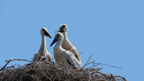 Young storks Stock Video Footage