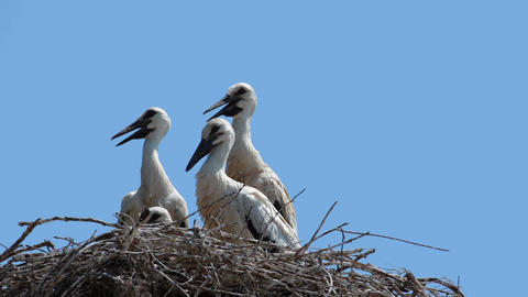 Young storks Footage