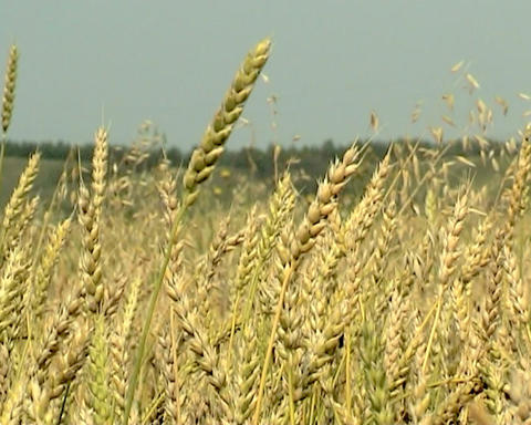Wheat Stock Video Footage