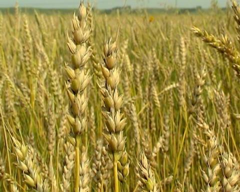 Wheat Stock Video Footage