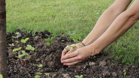 Hands planting sprout Stock Video Footage