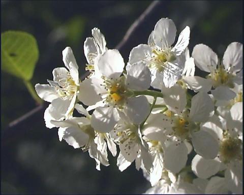 White flowerses Stock Video Footage