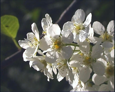 White flowerses Footage
