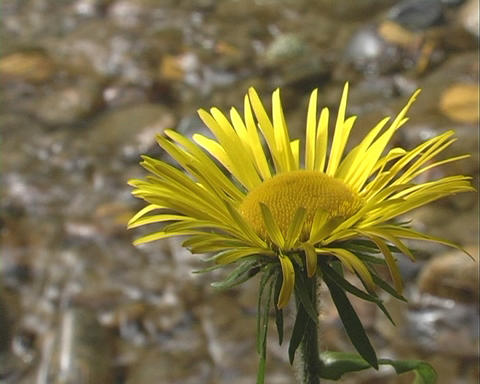 Yellow flower Stock Video Footage