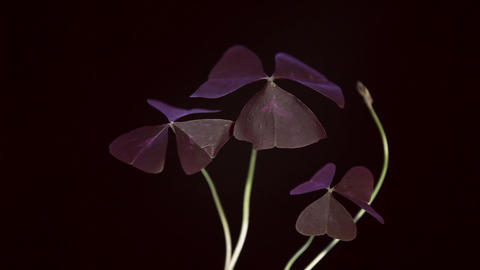 Oxalis leaves at sunset timelapse Stock Video Footage
