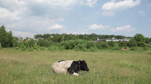 Cow Stock Video Footage