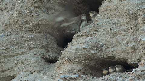 The nests of swallows in a sand quarry Footage