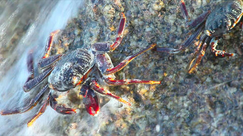 Crabs Stock Video Footage