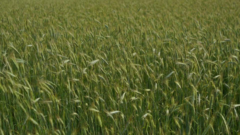 Green wheat field Stock Video Footage