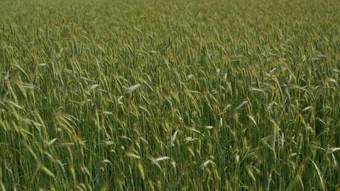 Green wheat field Stock Video Footage