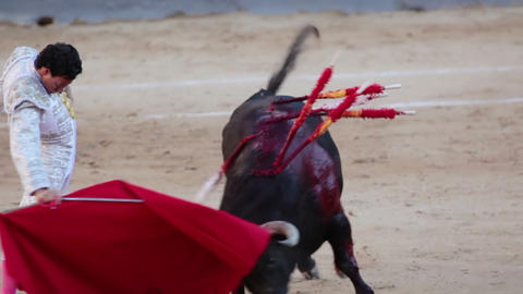 Work bullfighter with bull. Close-up Footage