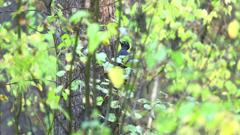 Black Woodpecker Stock Video Footage