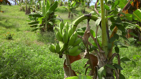 Bananas stock footage