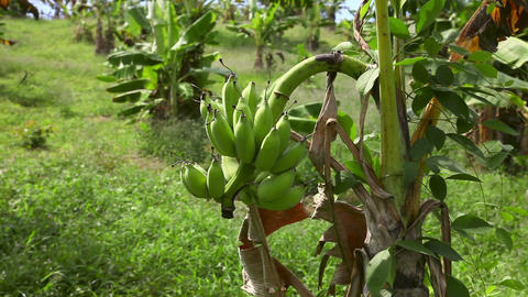 Bananas Stock Video Footage