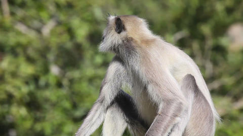 Gray langur Stock Video Footage