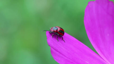 Red And Black Beetle stock footage