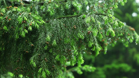 Fir needles Stock Video Footage