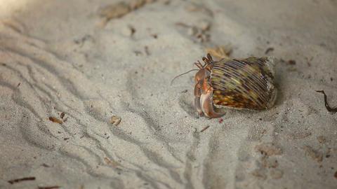 Hermit crab Footage