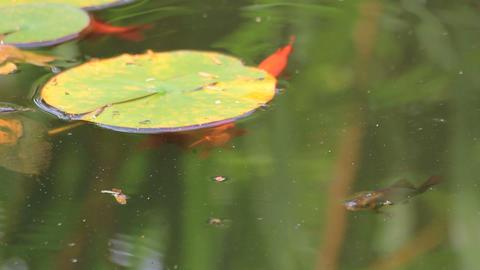 Lotuses and waterlilies Stock Video Footage