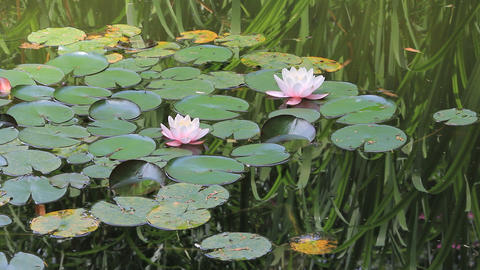 Lotuses and waterlilies Live Action