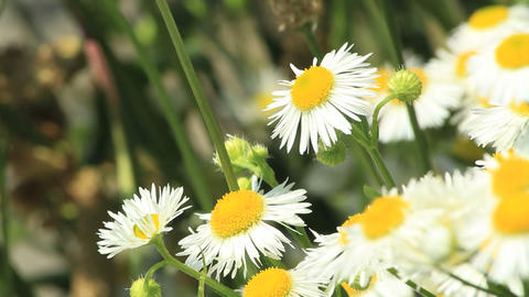 Daisies Stock Video Footage