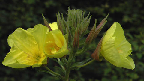 evening primrose opening bloom real time closeup Footage