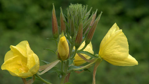 four evening primrose oenothera time lapse 11003 Footage