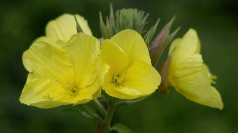 evening primrose oenothera time lapse quick 11005 Stock Video Footage