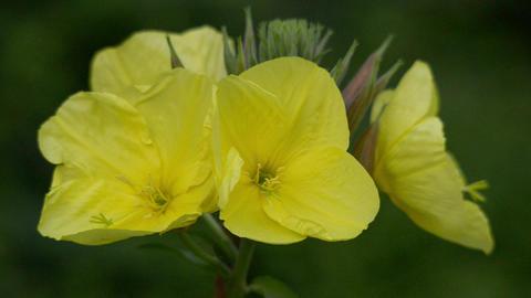 evening primrose oenothera time lapse quick 11005 Footage