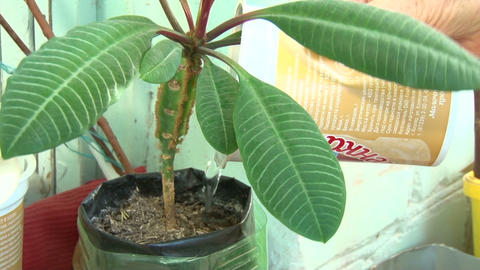 Ficus watered Stock Video Footage