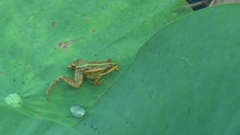 Frog is hiding under a green leaf Stock Video Footage