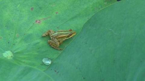 Frog is hiding under a green leaf Footage