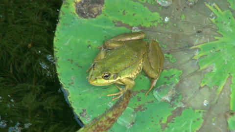Frog on green leaf Stock Video Footage