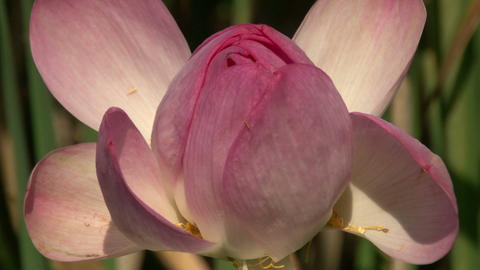 Pink Lily Bud Footage