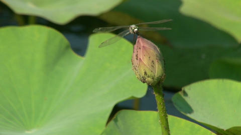 Dragonfly at the Bud lilies Stock Video Footage