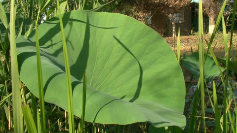 Big green Lily leaf Stock Video Footage
