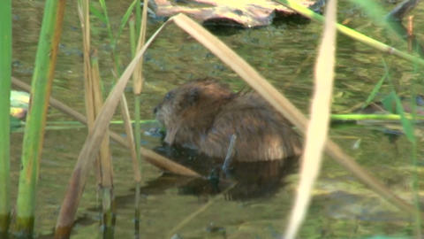 Water rat in a pond Footage