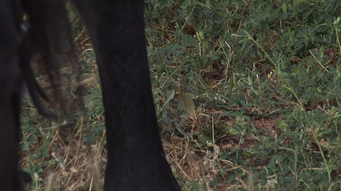 Horse hoof on the grass Stock Video Footage