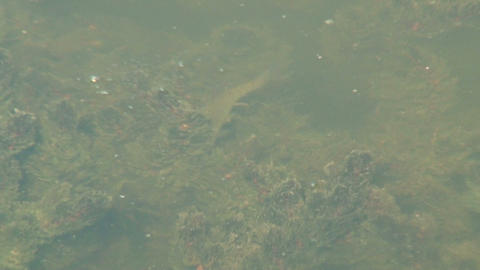 Fish in the muddy water Stock Video Footage