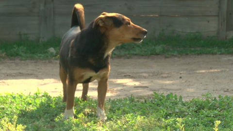 Black and red dog barks Stock Video Footage