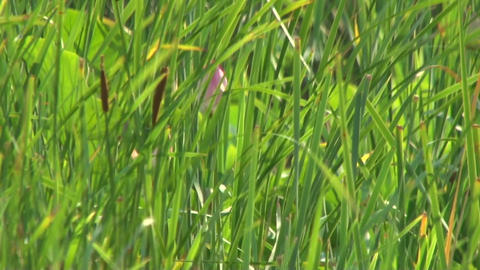 Pink Bud in the grass Stock Video Footage