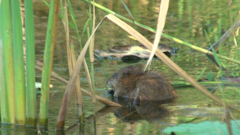 Water rat in a pond Stock Video Footage