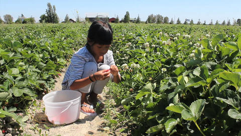 Asian Girl Picking Fresh Strawberries Stock Video Footage