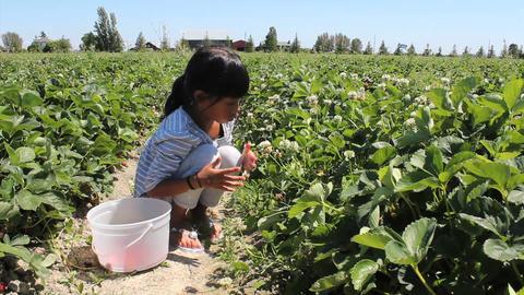 Asian Girl Picking Fresh Strawberries Stock Video Footage