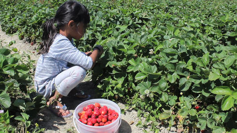 Little Girl Fills Strawberry Bucket Stock Video Footage