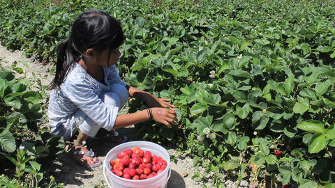 Little Girl Fills Strawberry Bucket Footage
