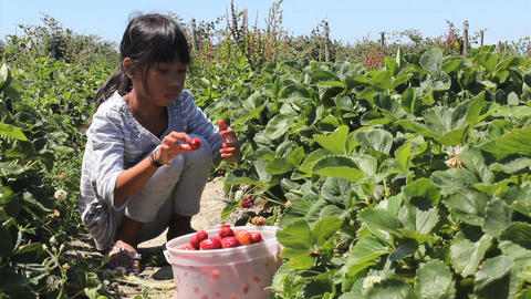 Seven Year Old Girl Picks Fresh Strawberries Stock Video Footage