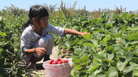 Seven Year Old Girl Picks Fresh Strawberries Footage