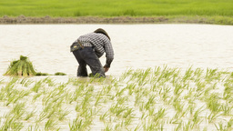 Farmer Planting Rice Seedlings in a Rice Paddy Stock Video Footage